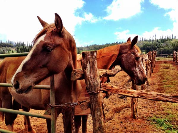 horses on Lanai Island, Hawaii